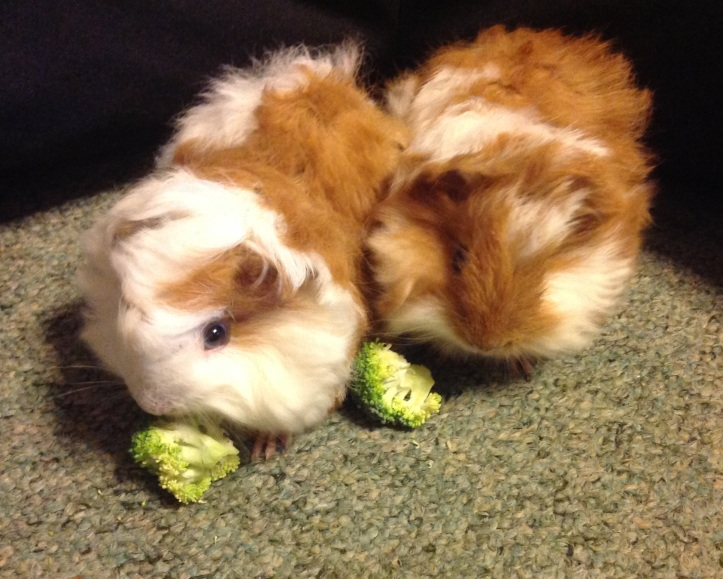 Guinea pigs cropped