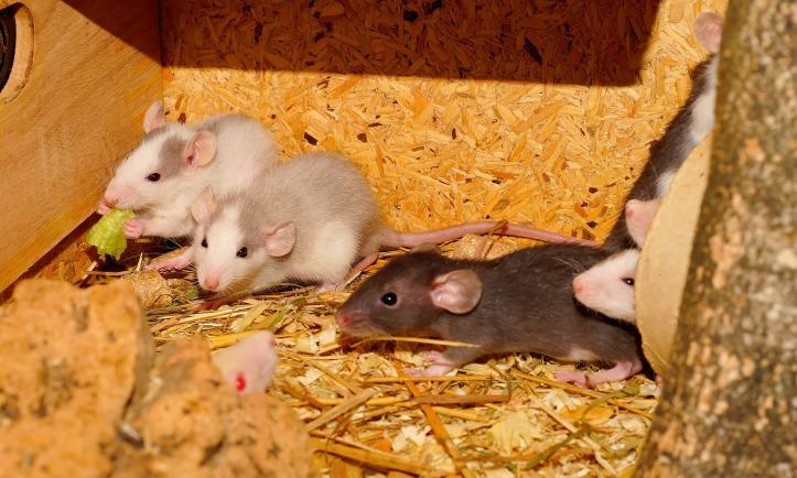 rat-1056985_1920